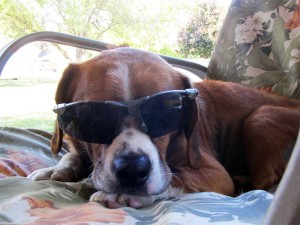 Scooter the dog wearing sunglasses