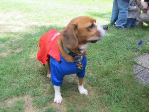 Scooter the dog in his Superman Halloween costume