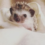Missy the hedgehog