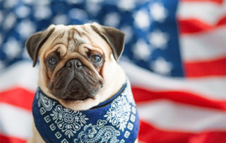 fear-free pug in front of american flag